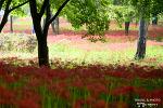 영광 불갑사 꽃무릇, 비 오는 꽃 길에서의 행복한 산책