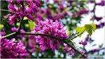 진한 붉은색 봄꽃 박태기 꽃