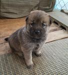 울프독(늑대개) 강아지 분양합니다 - 2016년12월