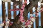 매화축제 (梅まつり, 湯島天神)