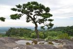 너럭바위 소나무