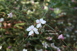 백접초(나비꽃)_20110924