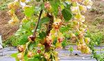 [농사일기] '베리의 왕'이라 불리는 블랙커런트 효능에는 어떤 것이 있을까요/지난해 심은 2년생 블랙커런트에서 꽃을 피웠습니다/눈 건강에 좋은 블랙커런트/죽풍원의 행복찾기프로젝트