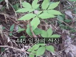 445 잎장의 산삼 기록 사진