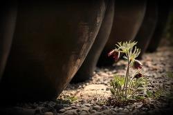 장독과 할미꽃