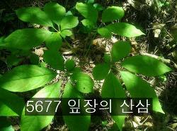 5677 잎장의 산삼 기록 사진