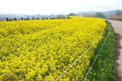 흐린날의 주남 유채밭