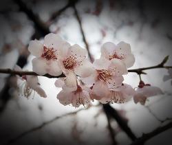 [화보] 2013 벗꽃엔딩 _ 광진정보도서관 & 워커힐 꽃길