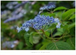 [7월 꽃나무] 산수국 이야기 - 가평 호명호수에서