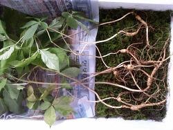 한국산 원초 산삼 협회 기록 (산원초)