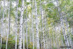 <인제>인제 원대리 자작나무숲 - 단풍과 자작나무숲의 어울림