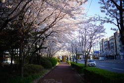 금정역 벚꽃길