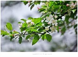 [4월 흰꽃나무] 분홍꽃봉오리가 흰색으로 변하는 꽃사과나무꽃