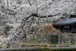 [2018/04/04] 거창 고학 용원정 쌀다리 만개한 벚꽃