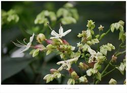 [8월 꽃나무] 누리장나무(개똥나무.취오동) 효능과 이야기