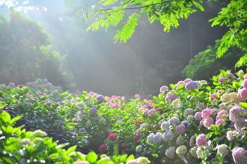 수국꽃 6ㅡ23