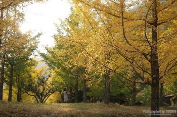 가을 딱 한 달만 개방하는 한 번쯤 가봐야 할 아름다운 스토리가 있는 여행지, 홍천 은행나무숲