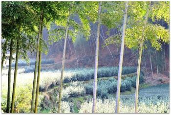 중국 수창현 대나무숲 2ㅡ11