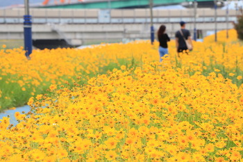 [꽃풍경 사진] 남양산역 뒤쪽 둑길 금계국천지