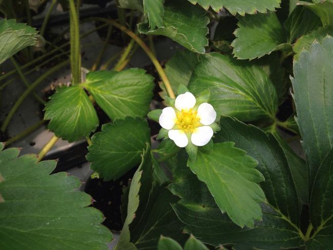 딸기모종에 일찍 핀 딸기꽃