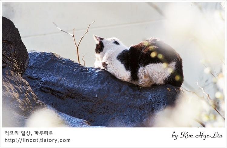 [적묘의 고양이]좋구나 속도 없이 매화, 봄날 길고양이, 날이 좋아서, 지붕고양이