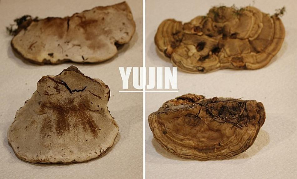 죽은 나무에서 사는 신비한 약용 버섯들