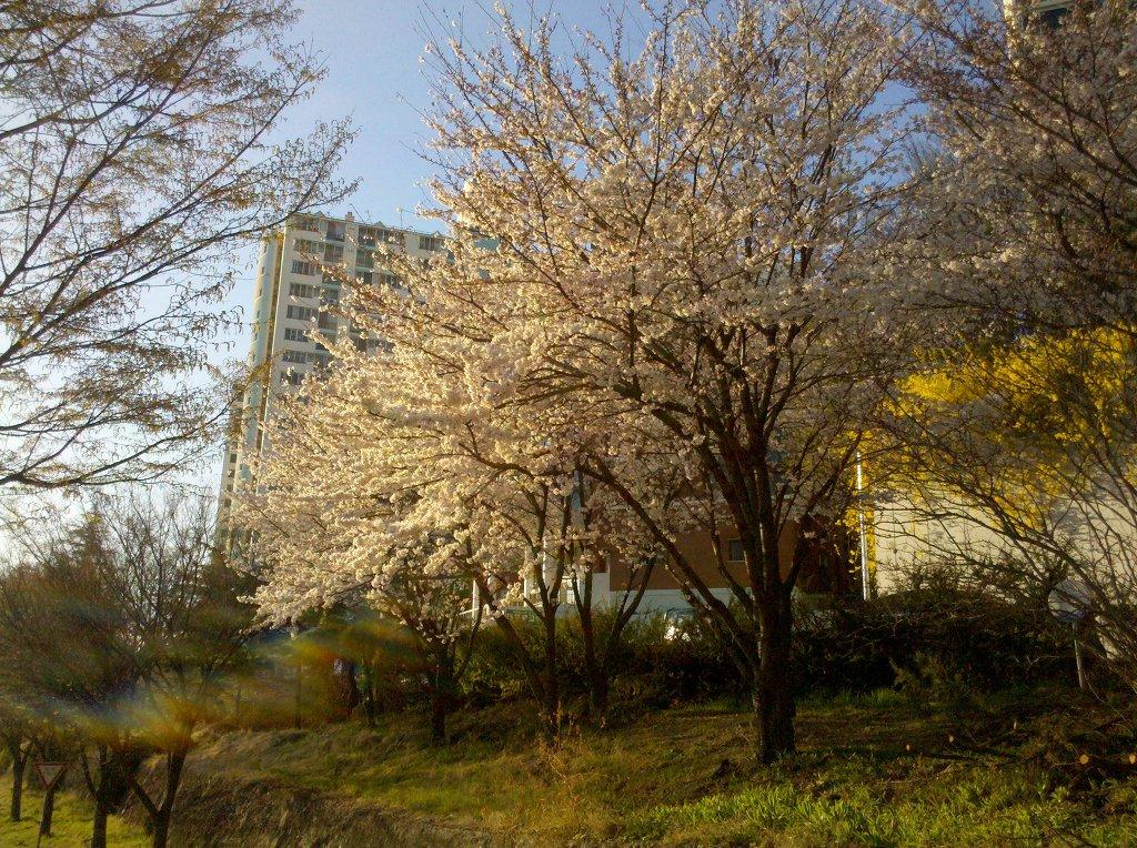 제2신천교 부근에 화려하게 핀 벚꽃 cherry blossom in Sincheungyo, Daegu by Motorola Milestone