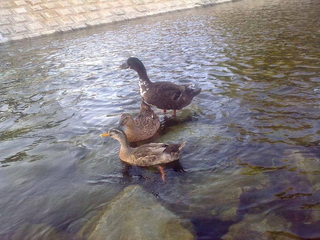 대구 신천둔치에서 둥지를 튼 청둥오리 가족 wild duck family made home at Sinchundunchi, Daegu #6
