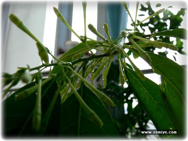 모기, 모기쫓는 식물, 모기가 싫어하는 식물, 야래향,스펀지 효과, 모기퇴치, 살충제