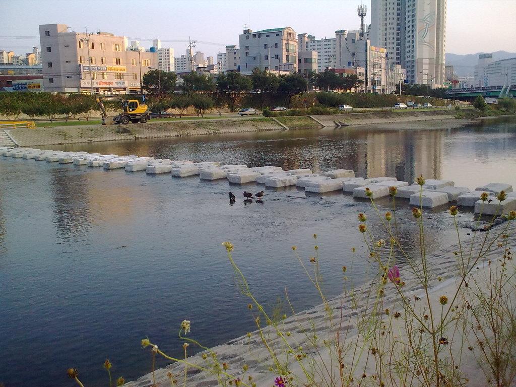 대구 신천둔치에서 둥지를 튼 청둥오리 가족 wild duck family made home at Sinchundunchi, Daegu #1