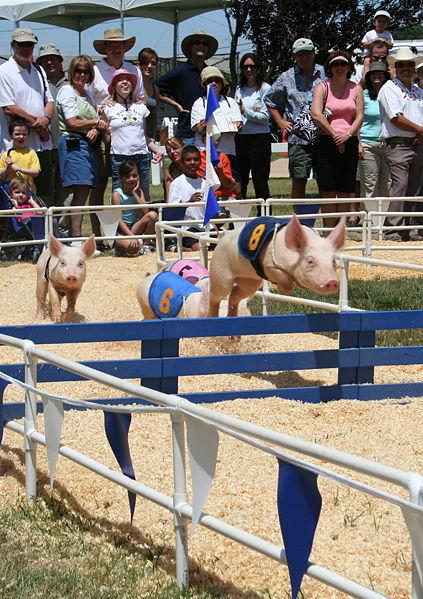 극과 극,  돼지 올림픽 VS 젖먹이 돼지 요리