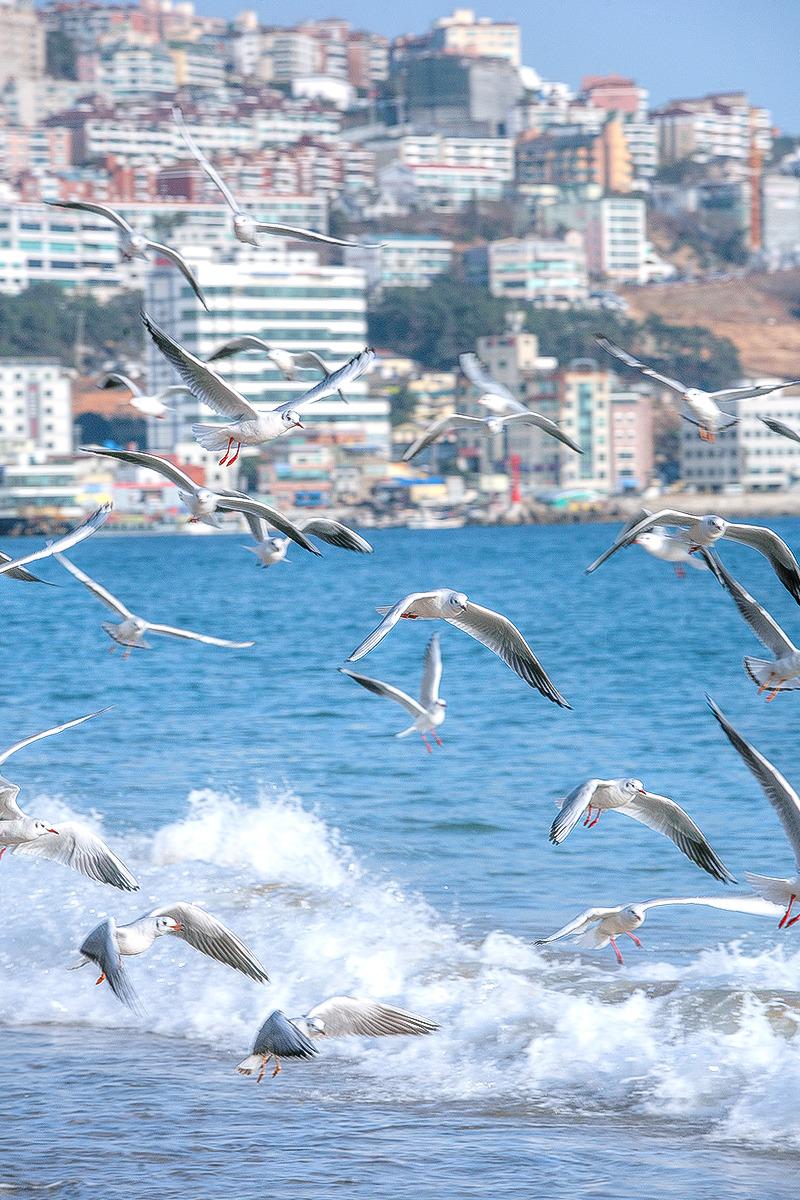 해운대해수욕장에서 갈매기 촬영한 사진-갈매기가 떼지어 날고있다.