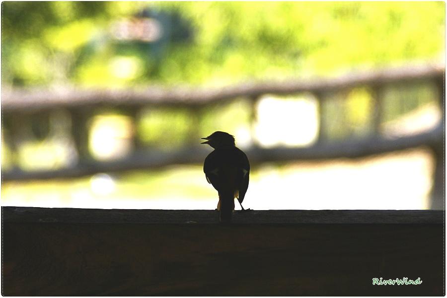 노래하는 새