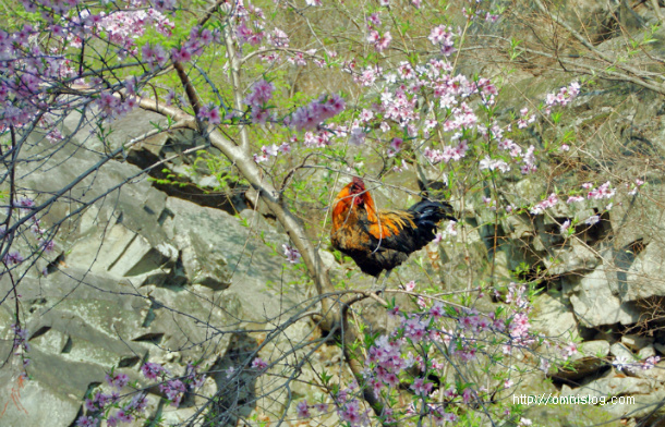 봄꽃 즐기는 장닭