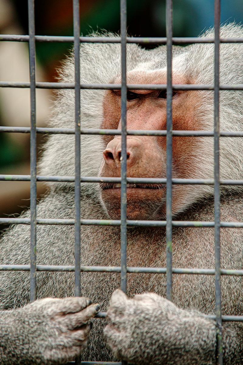 철창에 갇힌 원숭이가 철창을 붙잡고 뭔가를 갈구하는 강렬한 시선을 던지고 있다.
