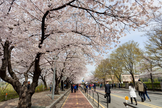 2016 벚꽃축제 ③ 여의도 봄꽃 축제