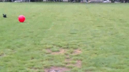 공이 너무 큰 강아지 5