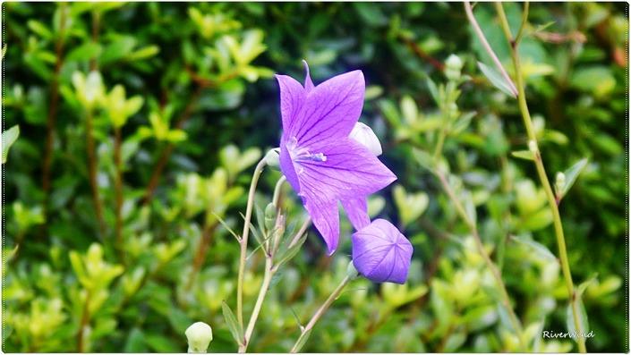보라색 도라지꽃