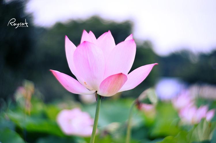 활짝 핀 연꽃