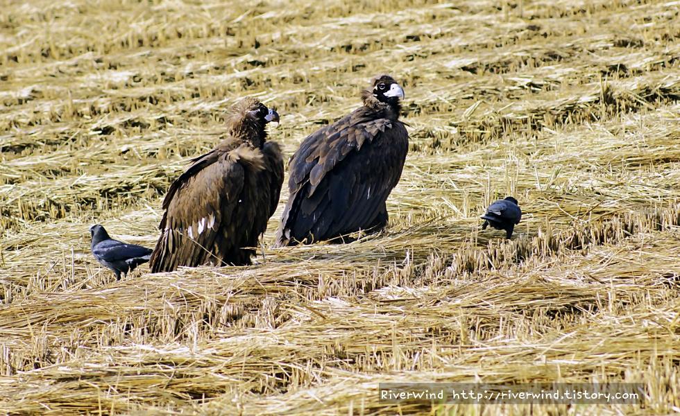 몽골 검은 독수리
