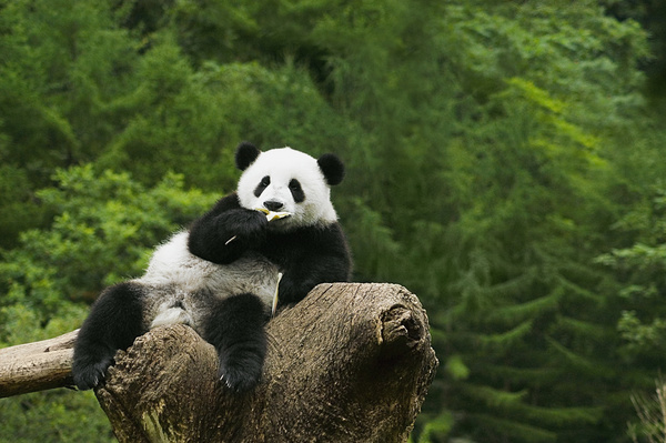 Free Stock Photo JPG file The panda on the tree to eat food Stock Photo