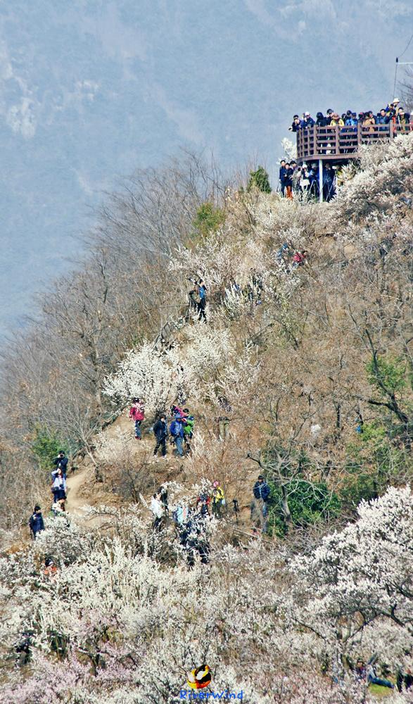 봄동산 매화(梅花)골 풍경