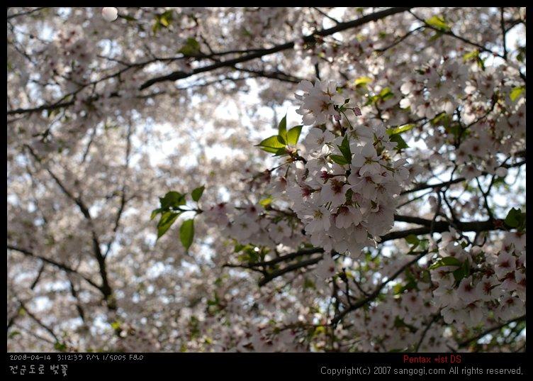 활짝 핀 벚꽃