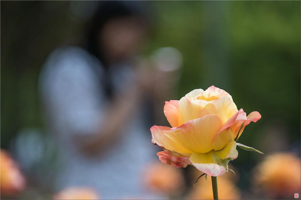 [삼성NX500] 장미공원에서...