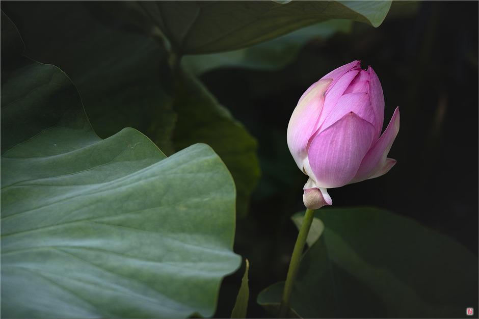[삼성NX500] 연애<蓮愛>