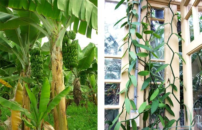 사진: 바나나와 바닐라의 차이. 왼쪽이 파초과의 바나나 나무. 오른쪽이 난초과의 바닐라인데, 덩쿨처럼 자란다. [바닐라, 바나나 차이]