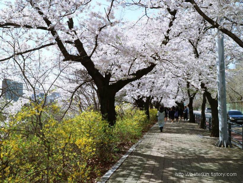 개나리와 벚꽃