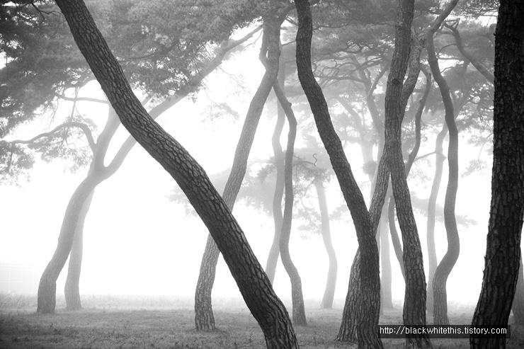 소나무들의 향연