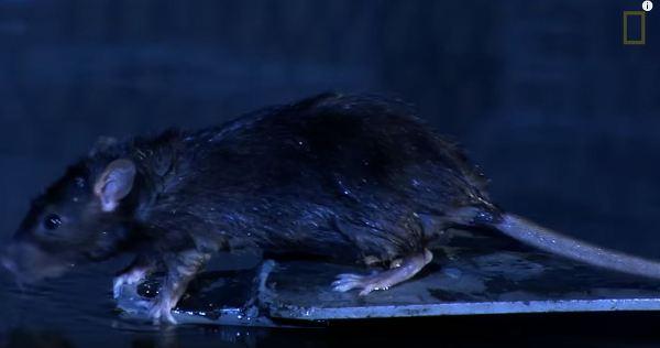 파이프 안에서 이동하는 쥐