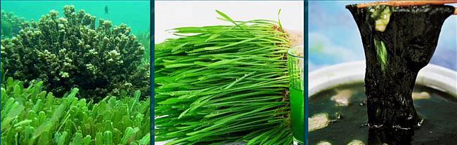 스피룰리나의 영양성분